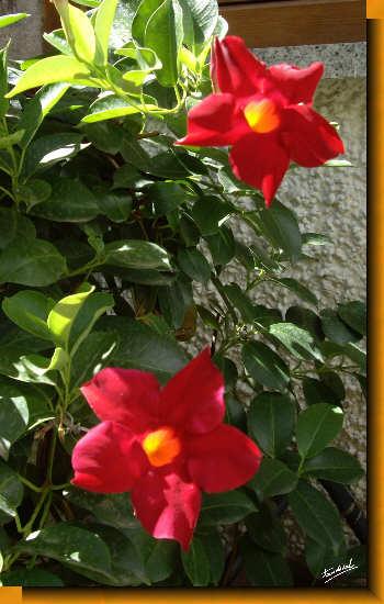 presenta hojas coriáceas de color verde intenso y llamativas flores