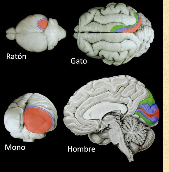 La corteza cerebral de los mamíf
