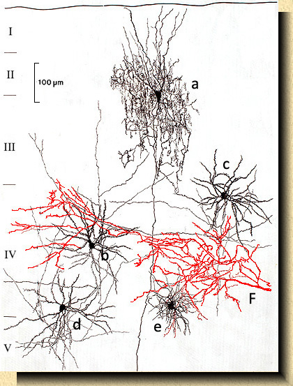 La corteza cerebral de los mamf varieties of cells in the visual cortex of the cat felis catus showing one chandelier cell a whose axon after forming a large plexus with branches in aloadofball Choice Image